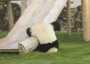 PandaFallsDown